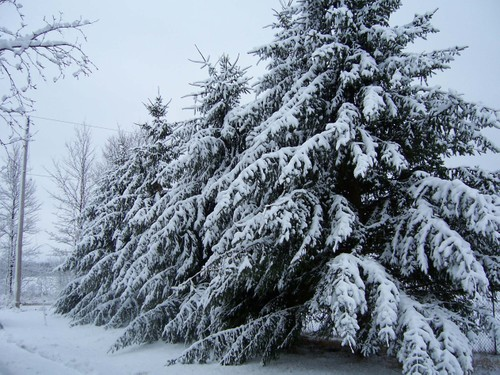 snow covered pines along the driveway